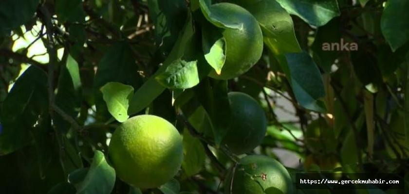 Markette 6 Lira Olan Limon, Bahçede 1 Liraya Kadar Geriledi