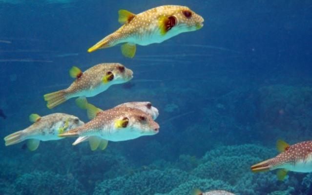 Balon Balığı Avcılığına Teşvik