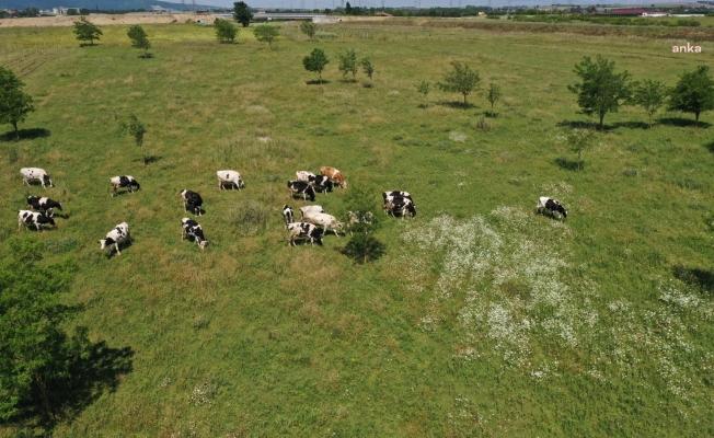 İBB, süt üreticisine hayvan başı 500 kilo yem verecek
