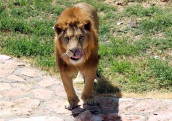 Gaziantep Hayvanat Bahçesi'nde Arslan, Bakıcısını Yaraladı