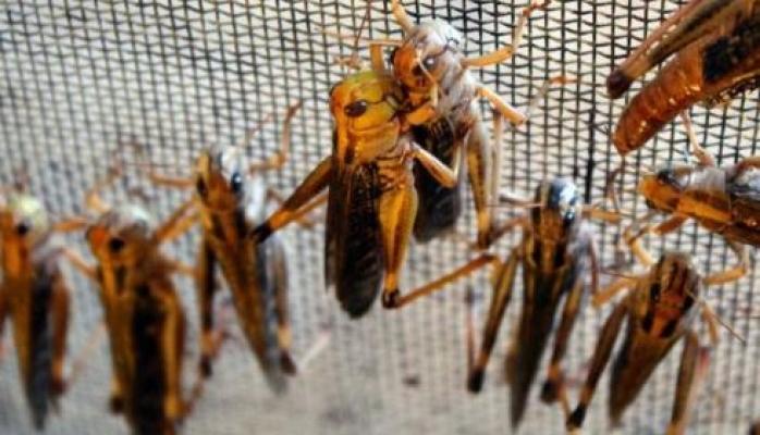 Yenilebilir, aromalı böcekler yakında süpermarketlerde!