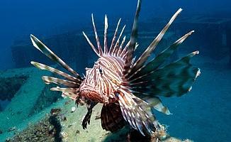 'Dünyanın en zehirli balığı' Akdeniz'in ardından Ege'de ortaya çıktı!