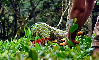 Çay üreticileri tekellere mahkum edildi