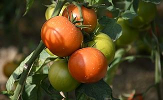 """""""Mağdur domates üreticisi çözüm bekliyor"""""""