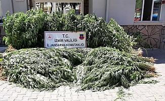 İzmir'de 5 bin 847 kök kenevir ele geçirildi