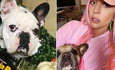 Rekor ödül vaat etmişti! Lady Gaga'nın köpekleri bulundu!